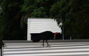 Nature in the islands. I believe a bush turkey