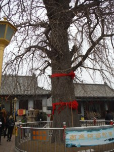 Tree outside the oldest temple in Qingdao