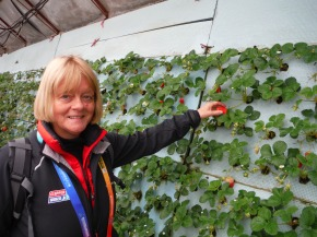 Judith picking strawberries grown vertically on boards