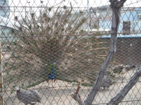 They had a little barnyard with goats, rabbits, chickens, etc. and this amazing peacock. Sorry you cannot see in person.