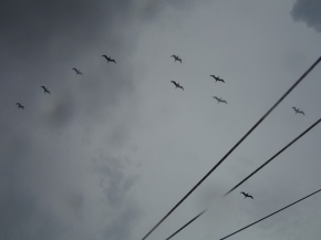 Lots of birds doing a bit of flying in formation and pretending they are band formations!