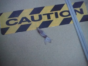Finally we find a flying squid on the deck.