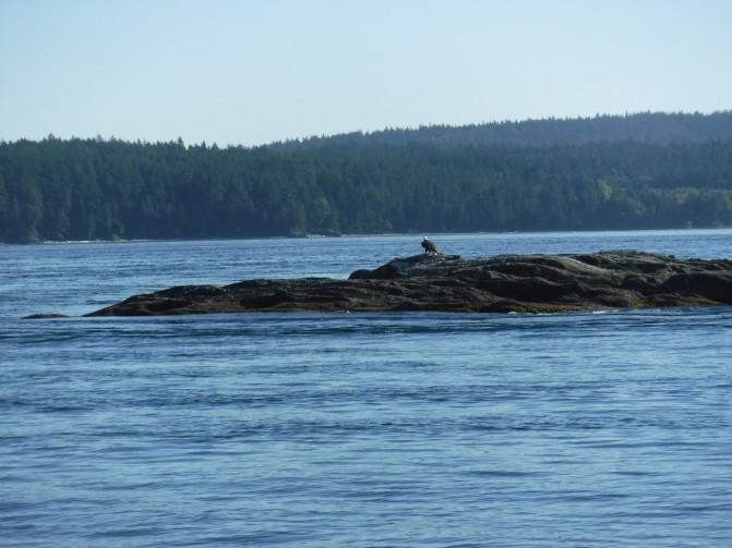 orcas bald eagle